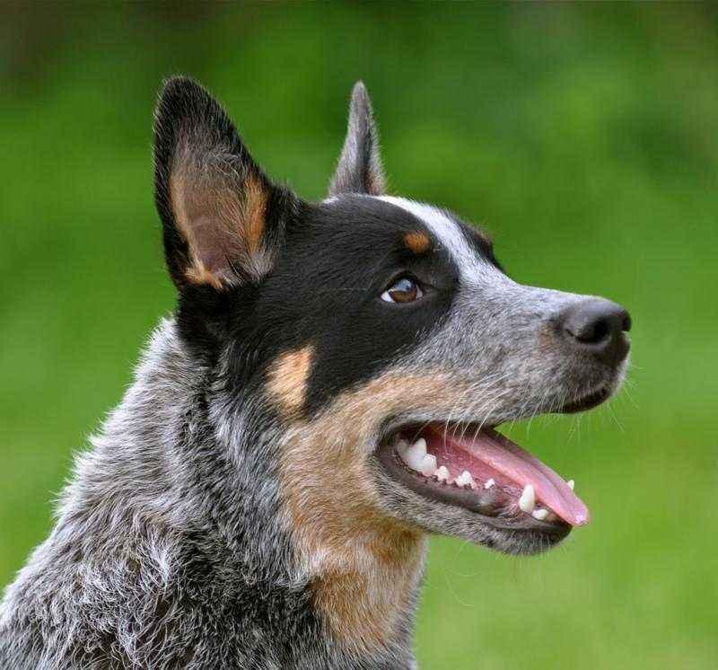 Австралийская пастушья собака: характеристика, стандарт, описание, содержание, фото и видео 5