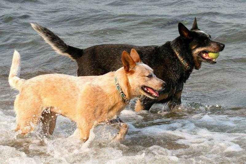 Австралийская пастушья собака: характеристика, стандарт, описание, содержание, фото и видео 4
