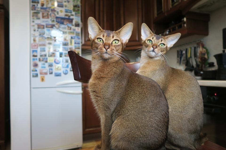 Породы кошек, которые имеют сходство с дикими сородичами - список, фото и характеристика 2