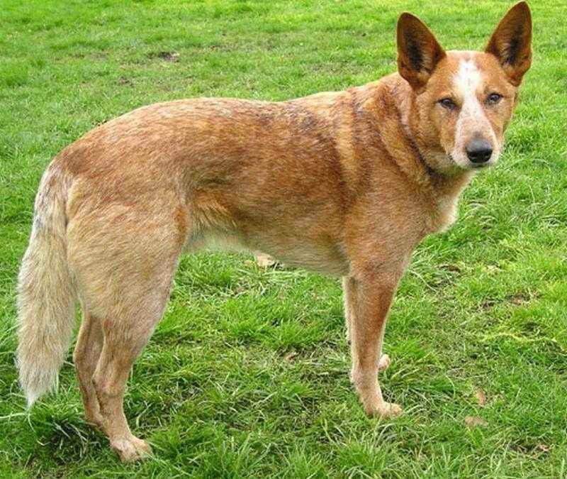 Австралийская пастушья собака: характеристика, стандарт, описание, содержание, фото и видео 3