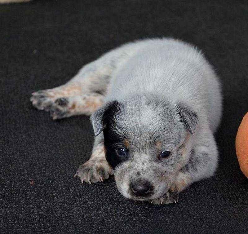 Австралийская пастушья собака: характеристика, стандарт, описание, содержание, фото и видео 2