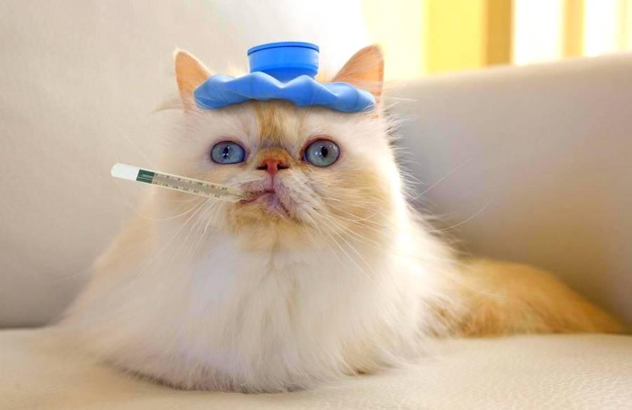 Как мерить температуру у кошек