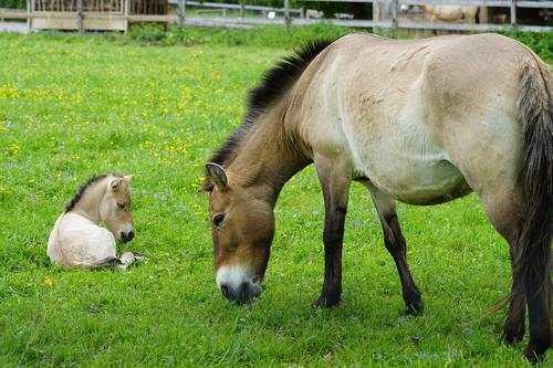Отряд непарнокопытные млекопитающие: характеристика, классификация и охранный статус 7