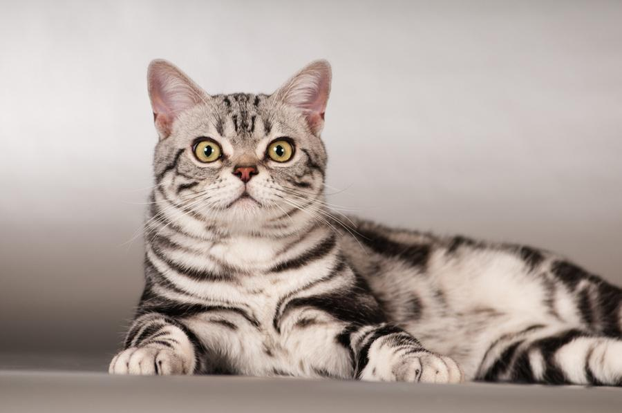 ТОП 10: Самые красивые породы кошек в мире - названия, краткое описание и фото 8