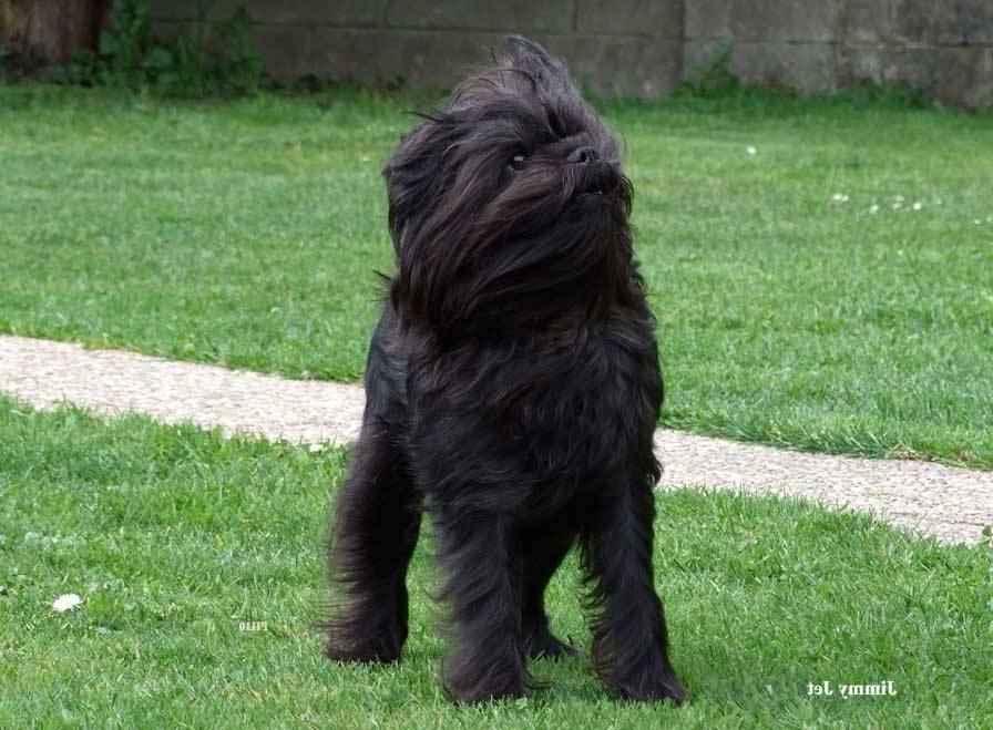 Самая маленькая в мире собака: порода, цена 4