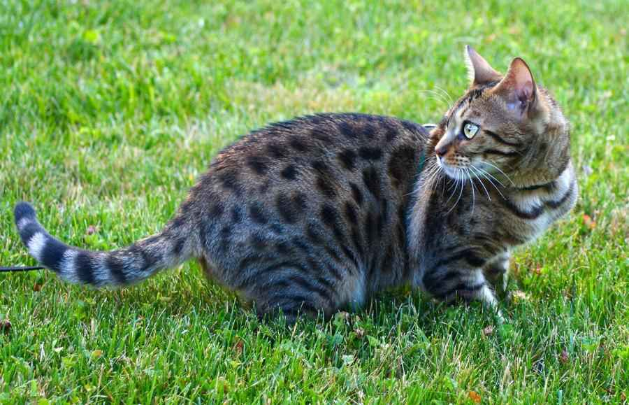 Породы кошек, которые имеют сходство с дикими сородичами - список, фото и характеристика 3