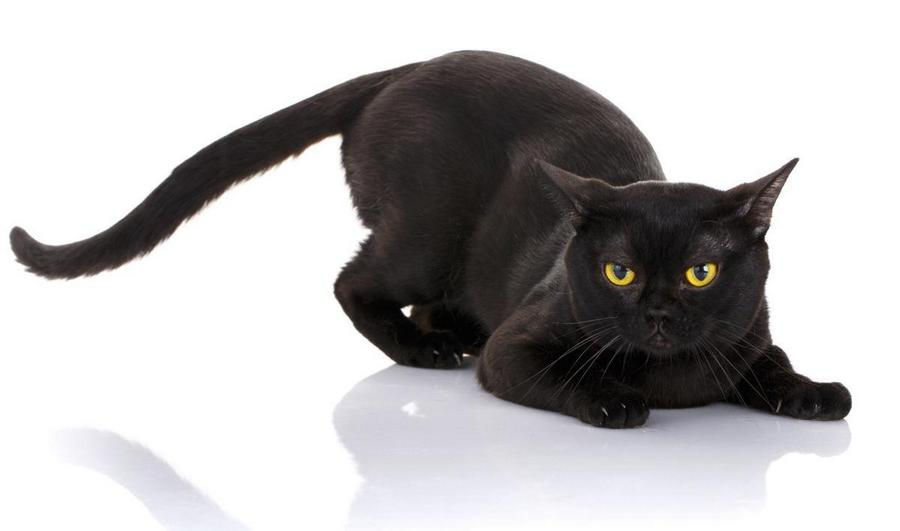 Породы кошек, которые имеют сходство с дикими сородичами - список, фото и характеристика 4