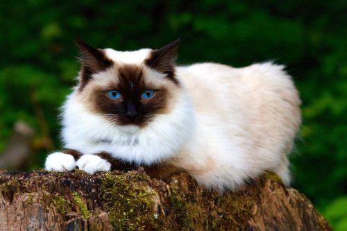 ТОП 10 пушистых пород кошек - список, характеристика и фото 7