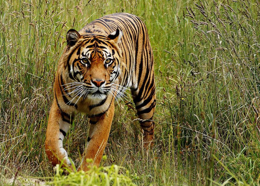 Зачем тигру нужны полосы? 2