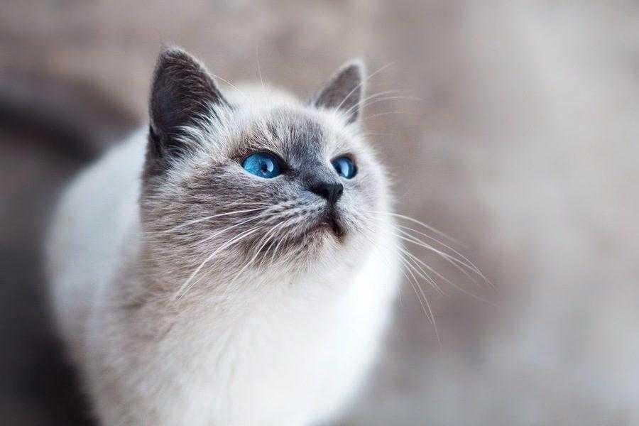 Бирманская кошка описание породы и характера