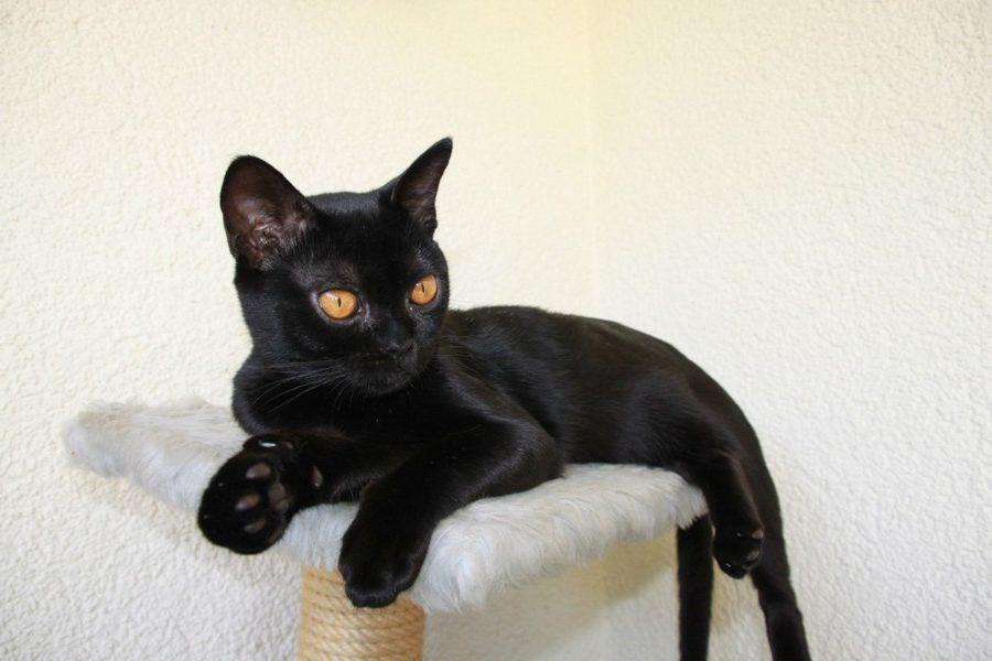 ТОП 11 пород кошек с чёрным окрасом — список, характеристика и фото 2