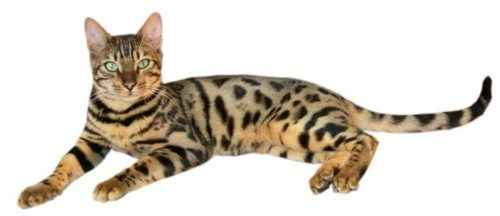 Пятнистые породы кошек - список, характеристика и фото 2