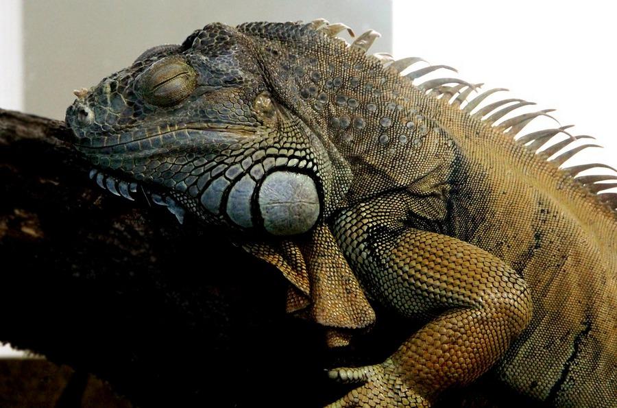 Общие признаки и характерные особенности рептилий 5