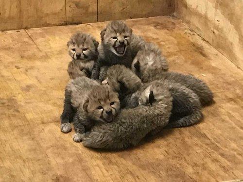 Самка гепарда произвела на свет 8 детенышей, в зоопарке Сент-Луис, штат Миссури, США 2