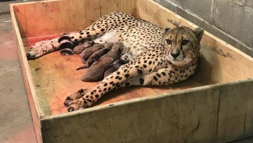 Самка гепарда произвела на свет 8 детенышей, в зоопарке Сент-Луис, штат Миссури, США 3