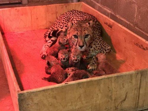 Самка гепарда произвела на свет 8 детенышей, в зоопарке Сент-Луис, штат Миссури, США 4