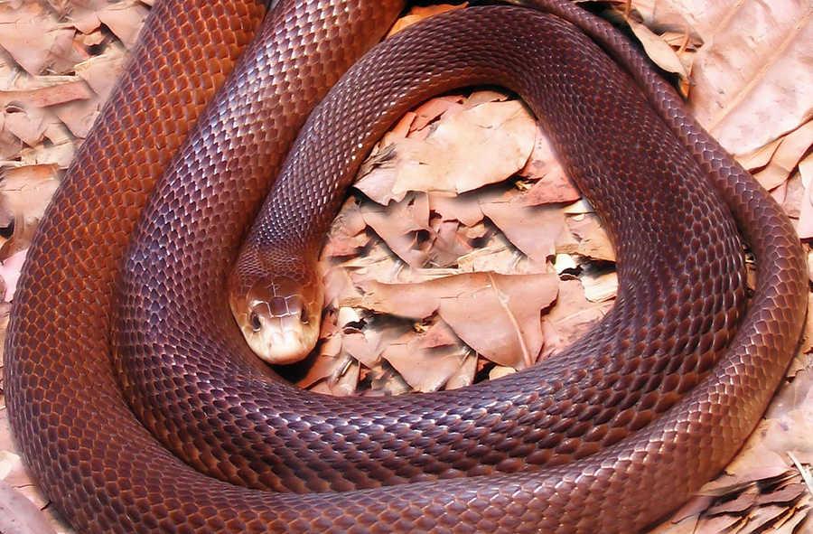 Картинки самой страшной змеи в мире