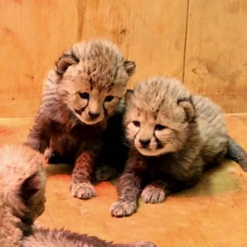 Самка гепарда произвела на свет 8 детенышей, в зоопарке Сент-Луис, штат Миссури, США 5