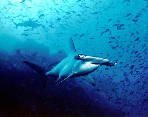 Самые известные представители животного мира Тихого океана 16