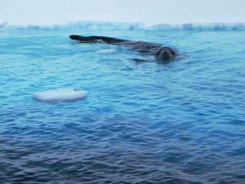 Самые интересные факты про морского леопарда 6