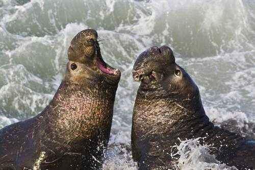 Морские слоны: виды, описание, размножение, питание, поведение и охранный статус 4