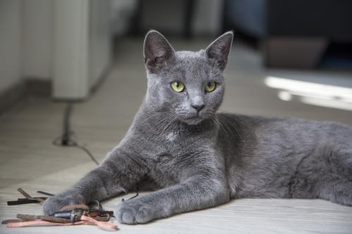 ТОП 10: Самые красивые породы кошек в мире - названия, краткое описание и фото 11
