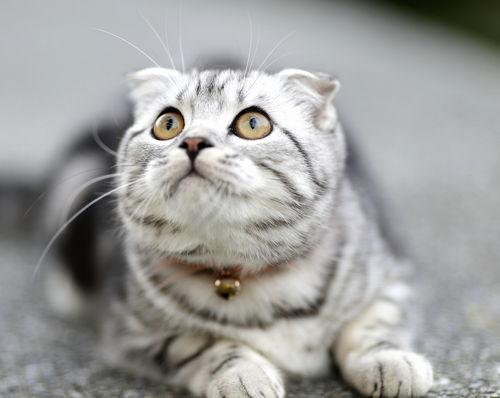 ТОП 10: Самые красивые породы кошек в мире - названия, краткое описание и фото 2