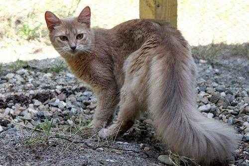 Породы кошек, которые имеют сходство с дикими сородичами - список, фото и характеристика 8