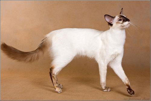 ТОП 10: Самые красивые породы кошек в мире - названия, краткое описание и фото 6