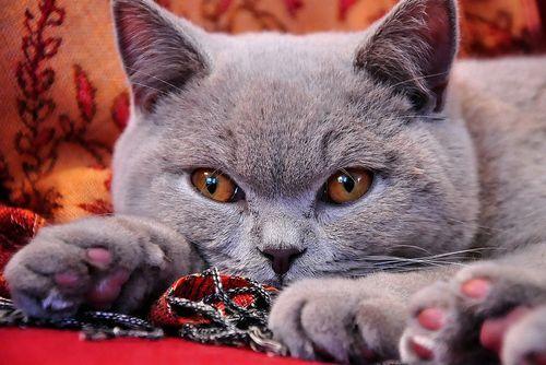 ТОП 10: Самые красивые породы кошек в мире - названия, краткое описание и фото 5