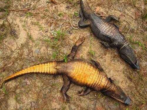 Пещерные африканские тупорылые крокодилы эволюционируют в новый вид 3
