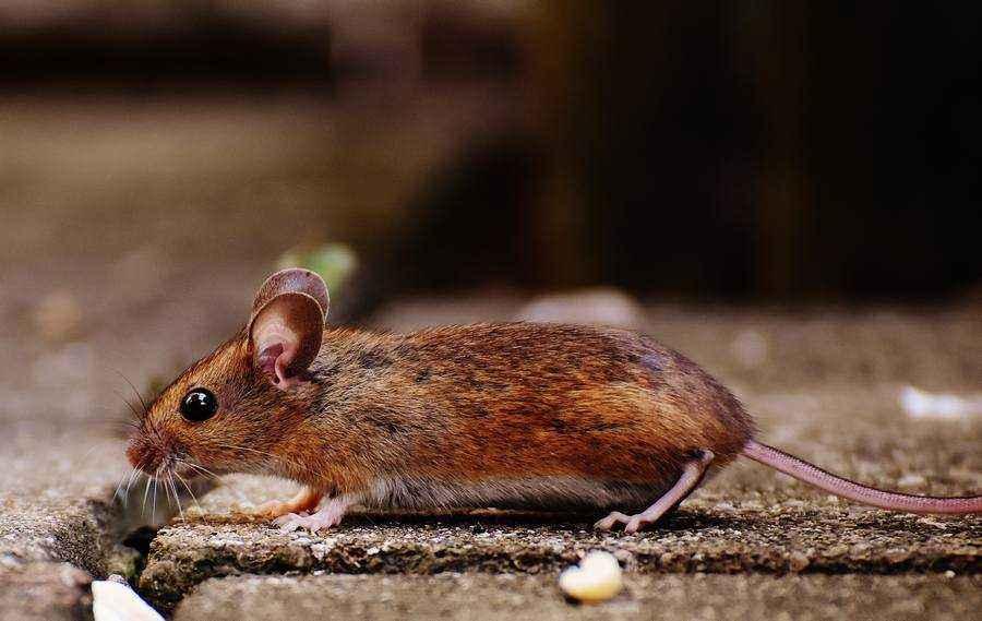 Отряд грызуны: классификация, характеристика, питание, поведение, размножение и значение 6