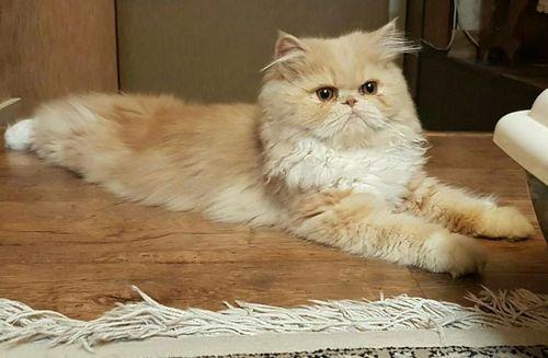 ТОП 10: Самые красивые породы кошек в мире - названия, краткое описание и фото 3