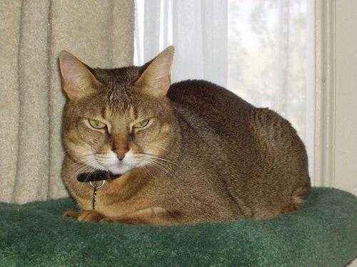 Породы кошек, которые имеют сходство с дикими сородичами - список, фото и характеристика 10