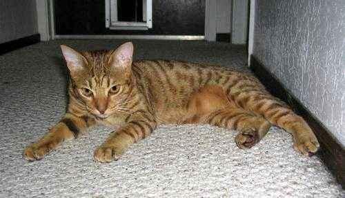 Породы кошек, которые имеют сходство с дикими сородичами - список, фото и характеристика 6