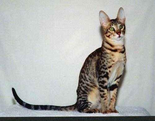 Породы кошек, которые имеют сходство с дикими сородичами - список, фото и характеристика 11