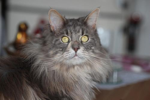 ТОП 10: Самые красивые породы кошек в мире - названия, краткое описание и фото 4