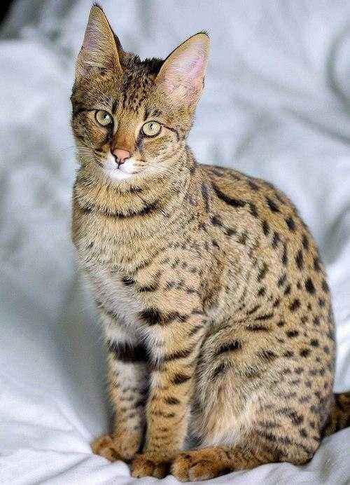 Породы кошек, которые имеют сходство с дикими сородичами - список, фото и характеристика 7