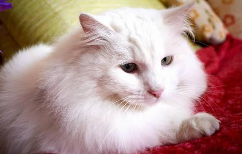 ТОП 10: Самые красивые породы кошек в мире - названия, краткое описание и фото 7