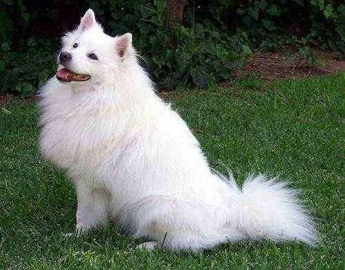 ТОП 15 пород собак с белой шерстью - названия, фото и краткое описание 3