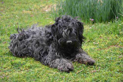 маленькие породы собак черного цвета