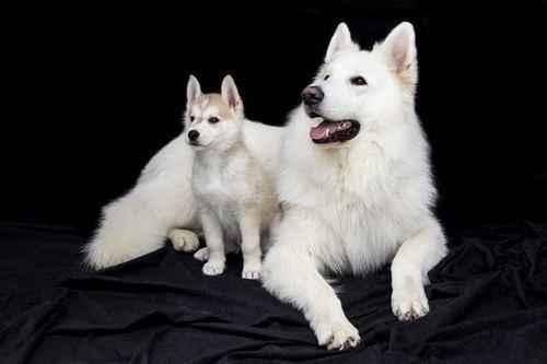 ТОП 15 пород собак с белой шерстью - названия, фото и краткое описание 6