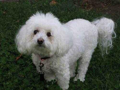 ТОП 15 пород собак с белой шерстью - названия, фото и краткое описание 7