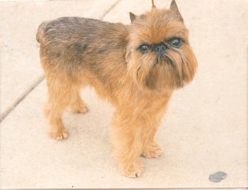 ТОП 15 небольших пород собак - названия, фото, размеры и краткое описание 8