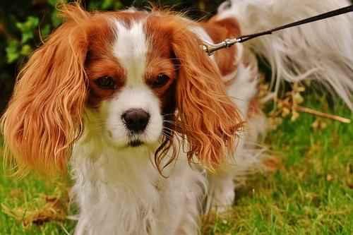 ТОП 10 пород собак подходящих для квартиры - маленькие, средние и крупные 10