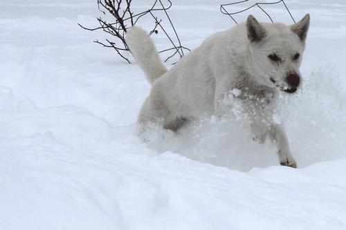 ТОП 15 пород собак с белой шерстью - названия, фото и краткое описание 12
