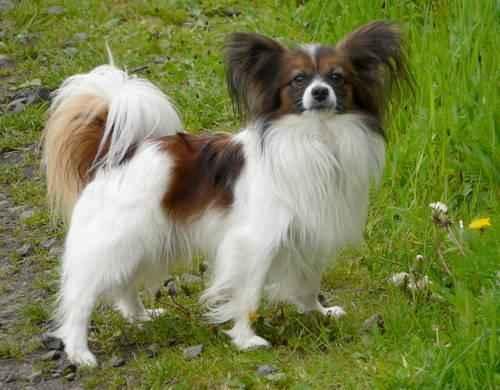 ТОП 15 небольших пород собак - названия, фото, размеры и краткое описание 10