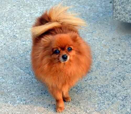ТОП 15 небольших пород собак - названия, фото, размеры и краткое описание 11