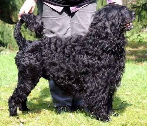 ТОП 10 пород собак средних размеров - список, названия, масса, фото и описание 10