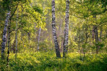 лесная зона, березы, кустарники, травы, зелень, природа